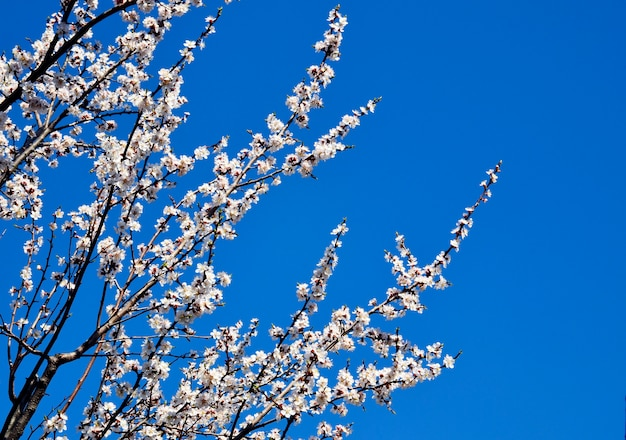 Цветущая сакура или вишневое дерево против голубого неба.