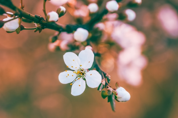 Blossoming spring branch of a fruit tree with white flowers. shallow depth of field, selective focus. tinted