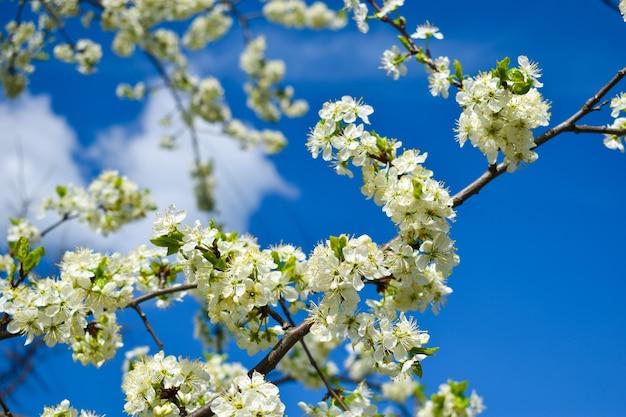 開花する春。こんにちは。木に咲くつぼみ。枝に花。美しい春
