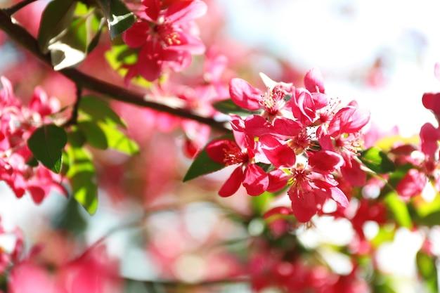 Цветущее весеннее дерево, розовые цветы, крупным планом