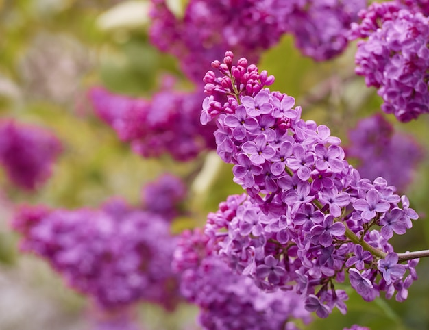 Blossoming syringa vulgaris.