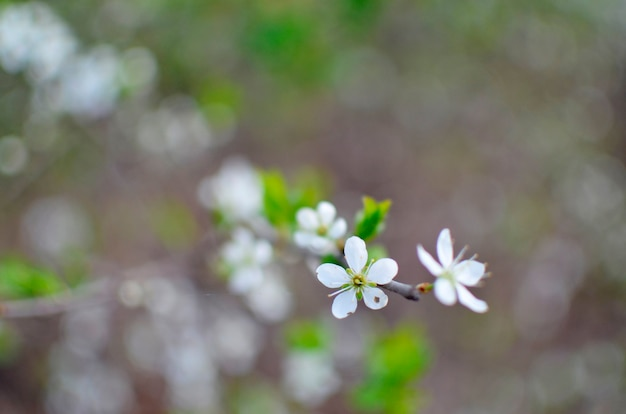 Blossoming tree brunch with white flowers on bokeh