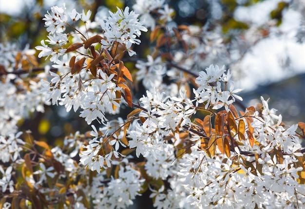 春に白い花が咲く木(自然の背景)。