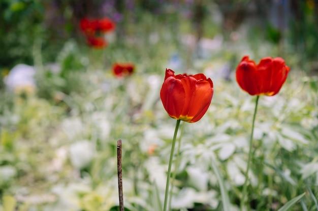 Цветущие тюльпаны на фоне цветов