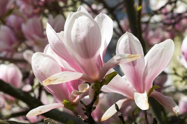 목련 나무의 꽃이 만발한 나뭇 가지