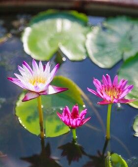Цветущие белые и розовые цветы водяной лилии (лотоса) на фоне зеленого пруда