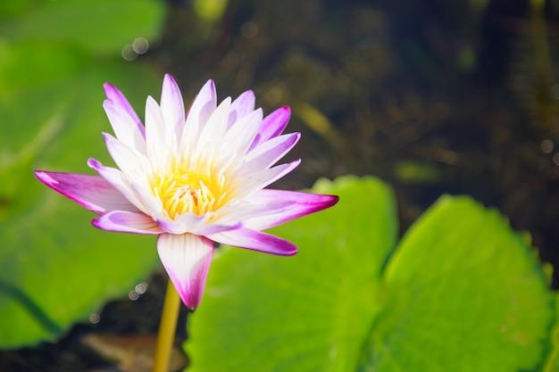 Цветущий белый и фиолетовый цветок водяной лилии (лотоса) на фоне зеленого пруда