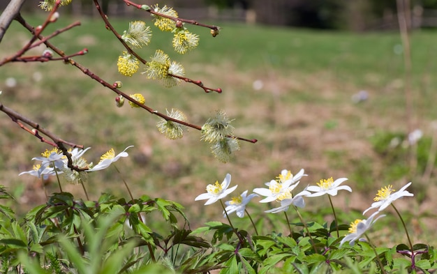 春の森の端に咲く白いアネモネの花とつぼみのある柳の小枝