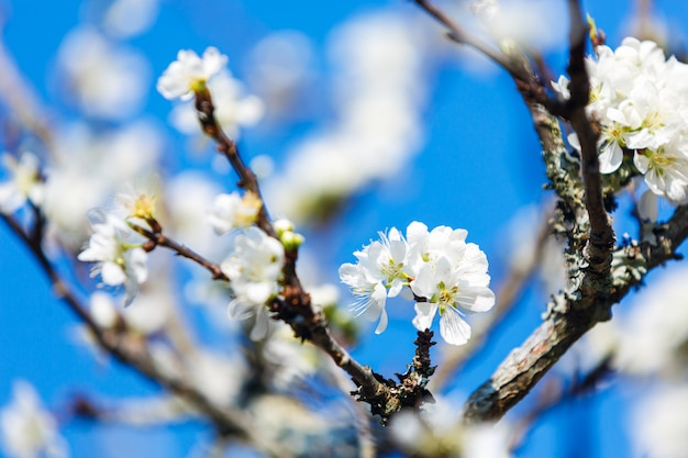 Blossoming white cherry flowers on blue sky background