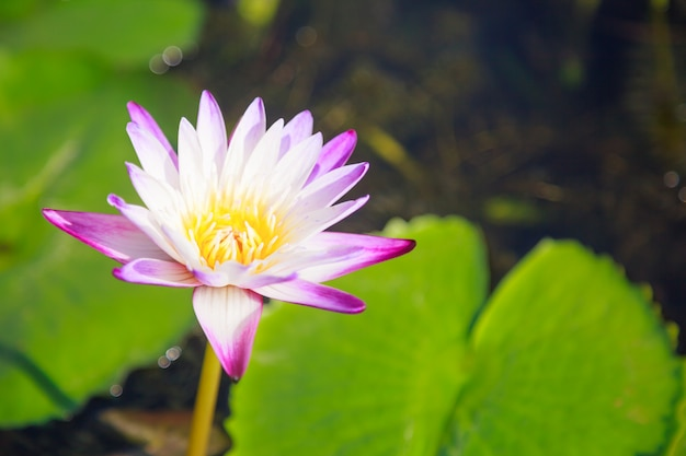 Blossoming white and purple water lily (lotus) flower in green pond background
