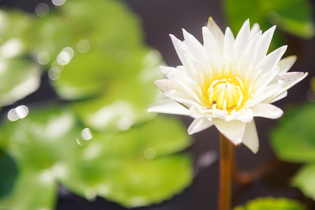 Blossoming white water lily (lotus) flower in green pond background