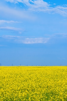 Blossoming yellow field of canola