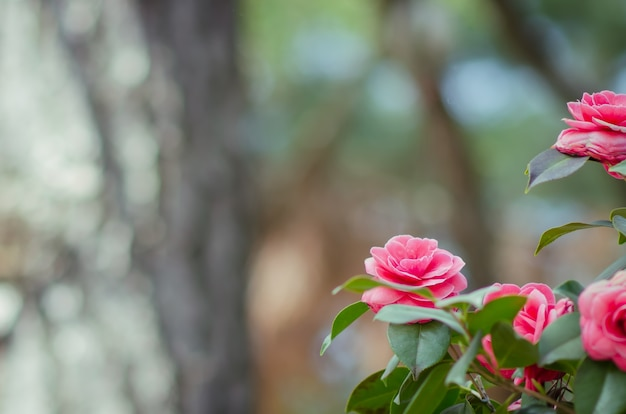 Blossoms of camellia blooming on blurry background in japan. beautiful nature flower backg