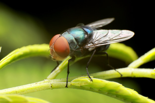 Blow fly, carrion fly, bluebottles or cluster fly, on green trees branch background.
