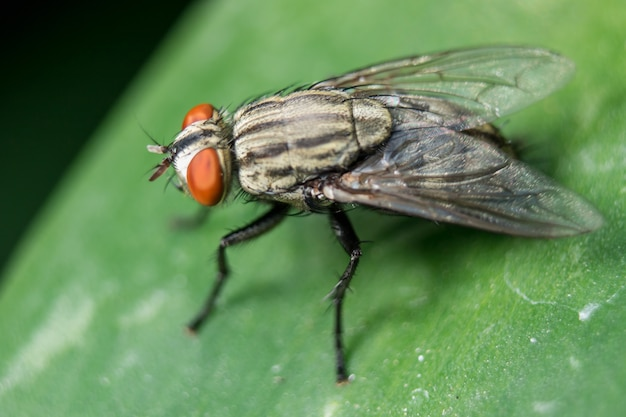 Blow fly on the leaves can be found in communities that have sewage.
