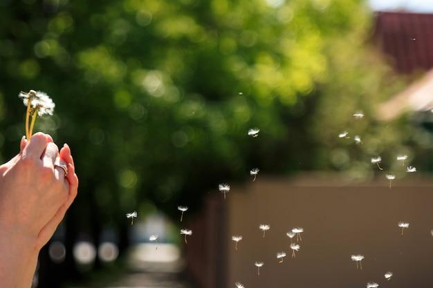 Blowball спелые семена одуванчика летать на ветру, зеленый фон.