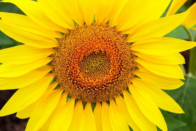 해바라기의 큰 노란 꽃을 날려