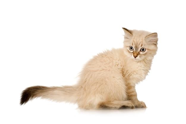 Блю-табби-пойнт бирманский котенок. портрет кота изолированный