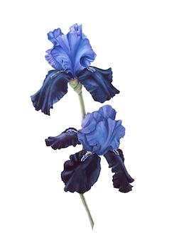 Синий и черный акварельный ирис