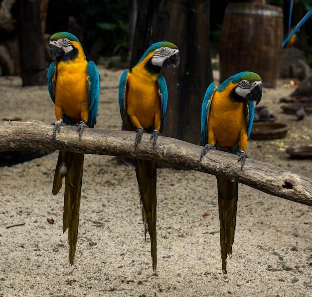 Синий и золотой ара на ветке