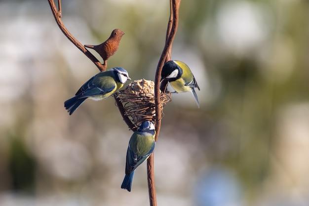 파란색과 녹색 가슴, 겨울, 유럽 정원에서 음식을 위해 자리 잡은 야생 총칭