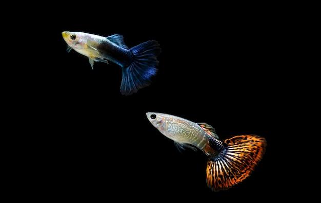 Сине-оранжевые хвостатые рыбы, плавающие на черном фоне