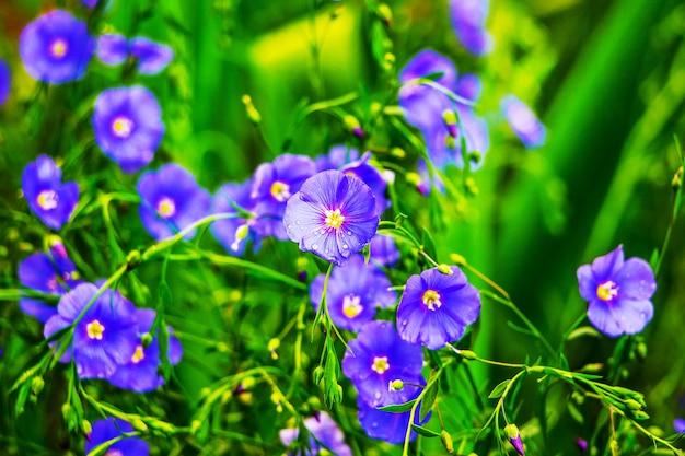 緑の葉の間の青と紫の亜麻の花_