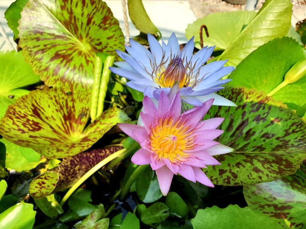 青と紫のスイレンまたは池に緑の葉を持つ蓮の花