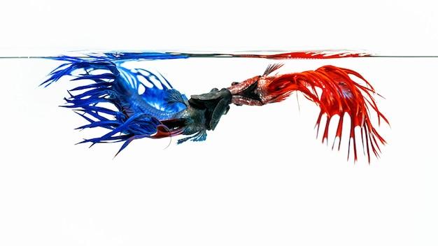 青と赤のベタの魚、白い背景で隔離の魚と戦う