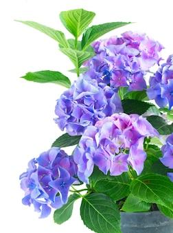 青と紫の新鮮なオルテンシア咲く花の茂みと緑の葉は、白い背景で隔離のクローズアップ