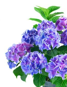青と紫の新鮮なオルテンシア咲く花の茂みと緑の葉が白い背景で隔離