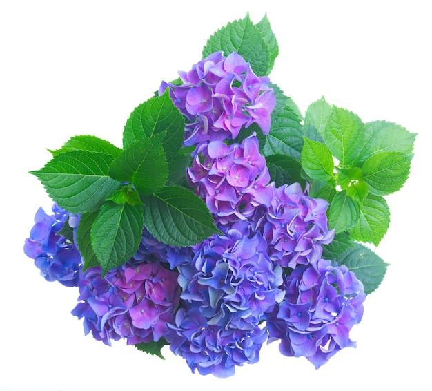 青と紫の新鮮なオルテンシアの花と緑の葉の茂みは白で隔離