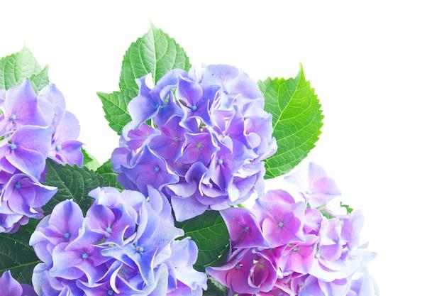 青と紫の新鮮なオルテンシアの花と緑の葉は、白い背景で隔離のクローズアップ