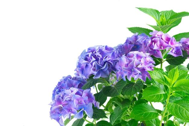 青と紫の新鮮なオルテンシア新鮮な花が白い背景で隔離