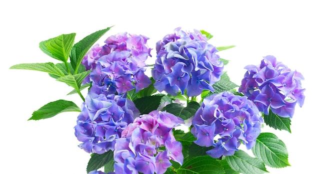 青と紫のオルテンシア咲く花と緑の葉が白い背景で隔離