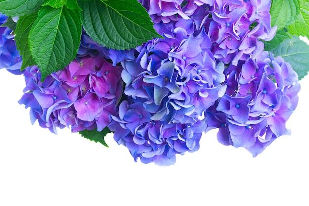 青と紫のオルテンシアの花が白で隔離されてクローズアップ