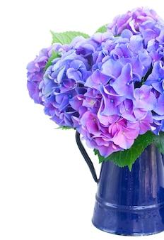 青いポットの青と紫のオルテンシアの花は、白で隔離のクローズアップ