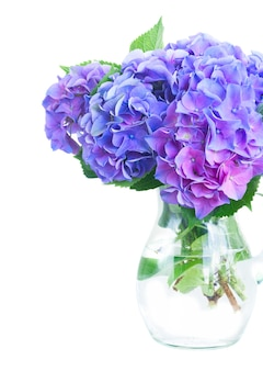 白で隔離のガラスの花瓶の青と紫のオルテンシアの花