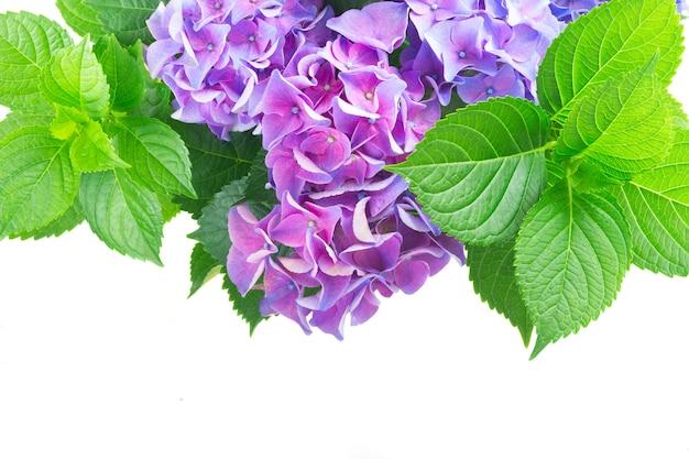 青と紫のオルテンシアの花と新鮮な緑の葉の境界線が白い背景で隔離