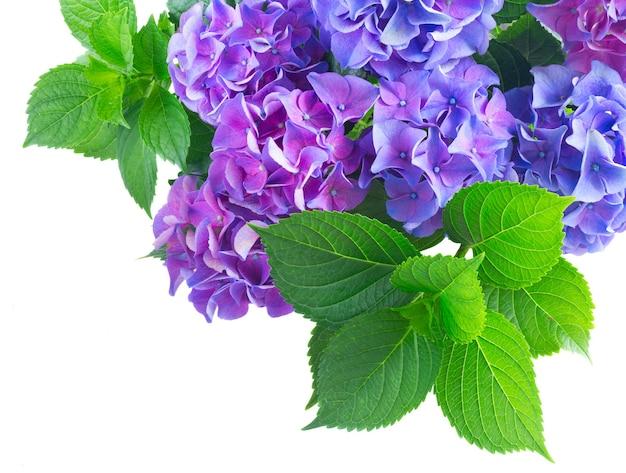 新鮮な緑の葉と青と紫のオルテンシアの花は、白い背景で隔離のクローズアップ