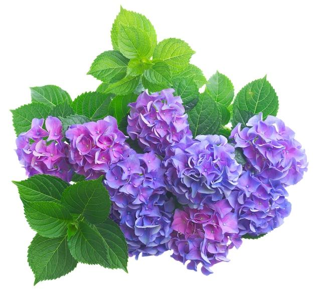 白の背景に分離された緑の葉を持つ青と紫のオルテンシアの花