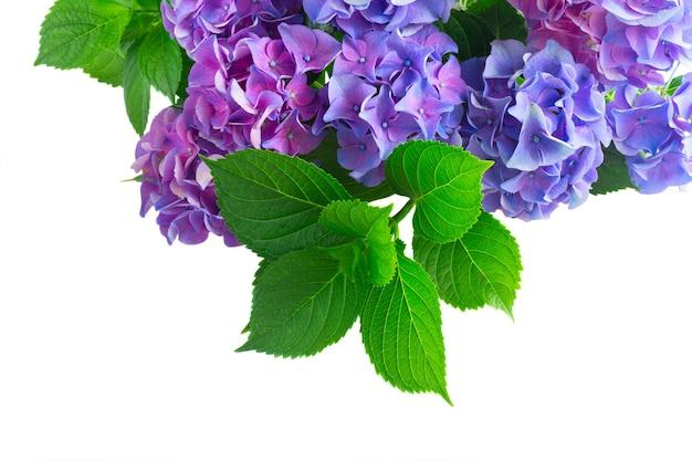 青と紫のオルテンシアの新鮮な花と新鮮な緑の葉の境界線が白い背景で隔離