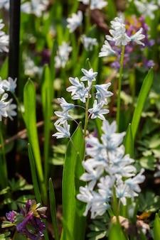 Голубые и белые весенние цветы луковичных растений на клумбе. выборочный фокус