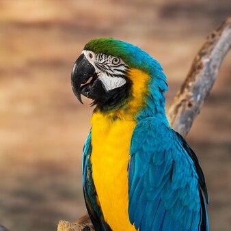 Сине-желтый жук [Ара Арарауна], сидящий на бревне