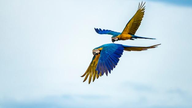 Ara ararauna 종의 파란색과 노란색 잉꼬