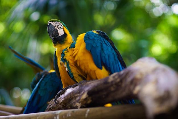 Сине-желтый попугай ара сидит на ветке и смотрит в камеру.