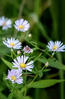 가을 정원에 푸른 애스터 타타리쿠스 꽃이 핀다