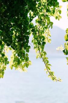 덩굴의 가지가 파란색에 대한 프레임 위에서 매달려 단풍과 파란색 배경
