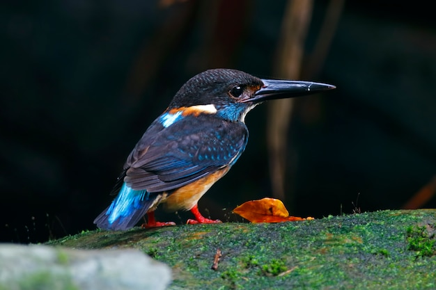 Blue-banded kingfisher alcedo euryzona male cute birds of thailand