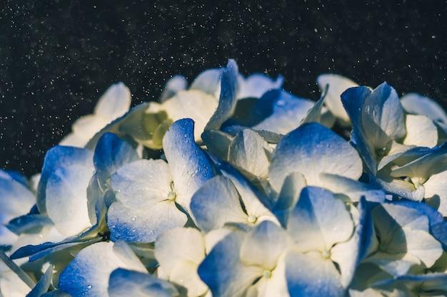 雨の中で青い美しいアジサイの花